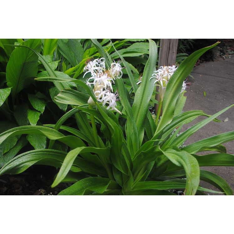 Crinum asiaticum var. japonicum