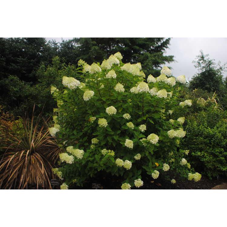Hydrangea paniculata 'Limelight' - panicled hydrangea