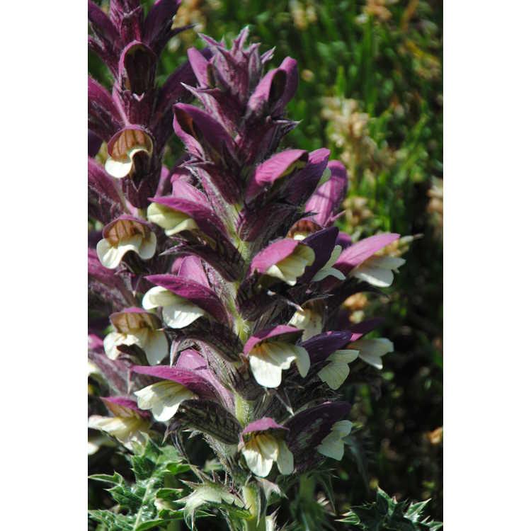 Acanthus dioscoridis var. perringii