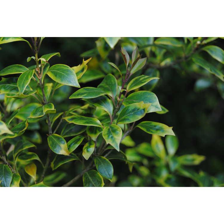Osmanthus heterophyllus 'All Gold'
