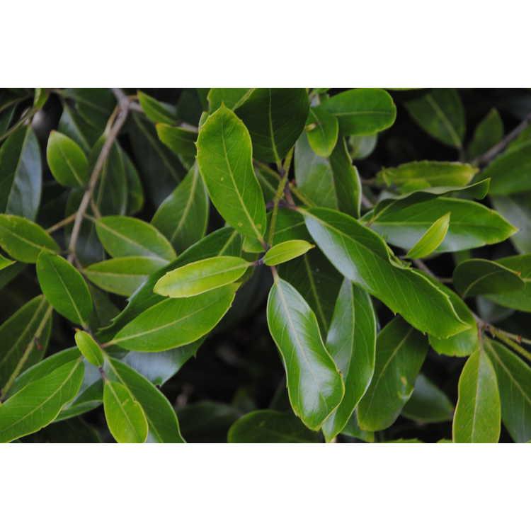Osmanthus armatus - Chinese tea-olive
