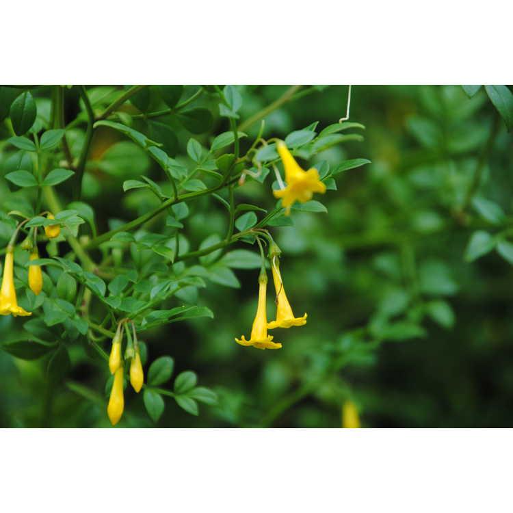 Jasminum bignoniaceum