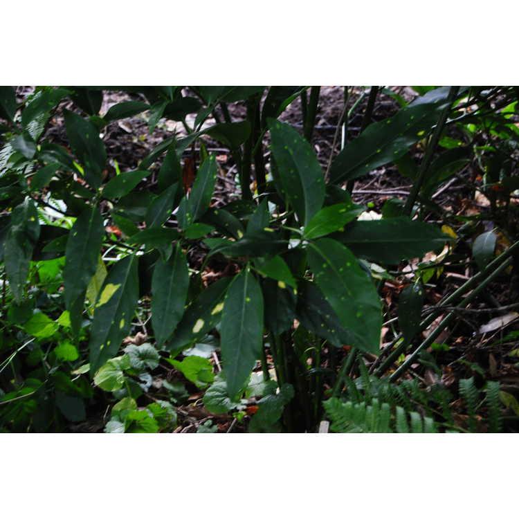 Aucuba japonica 'Speckles'