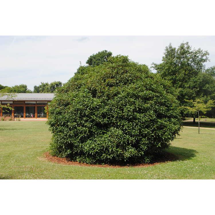 Viburnum ×globosum 'Jermyn's Globe'