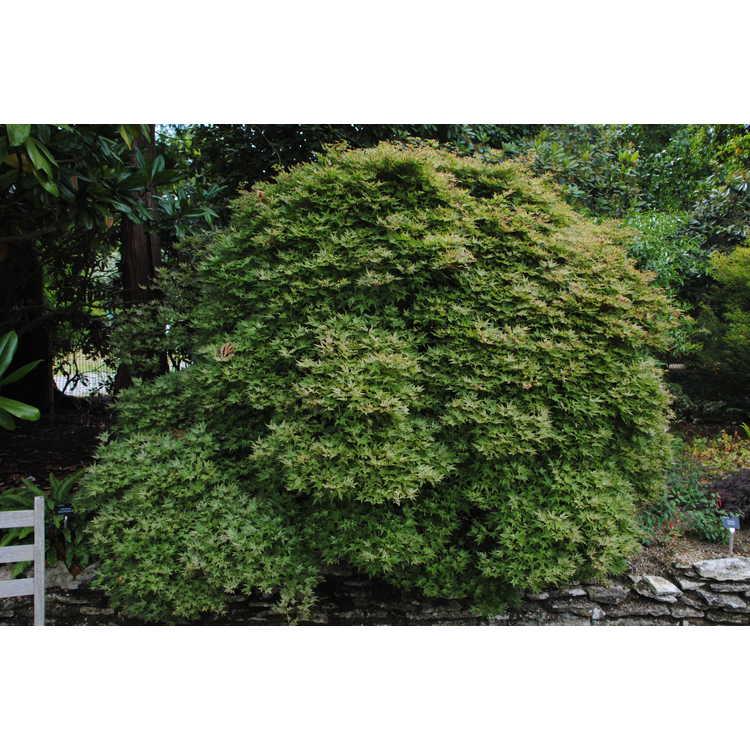 Acer palmatum 'Corallinum' - chameleon Japanese maple
