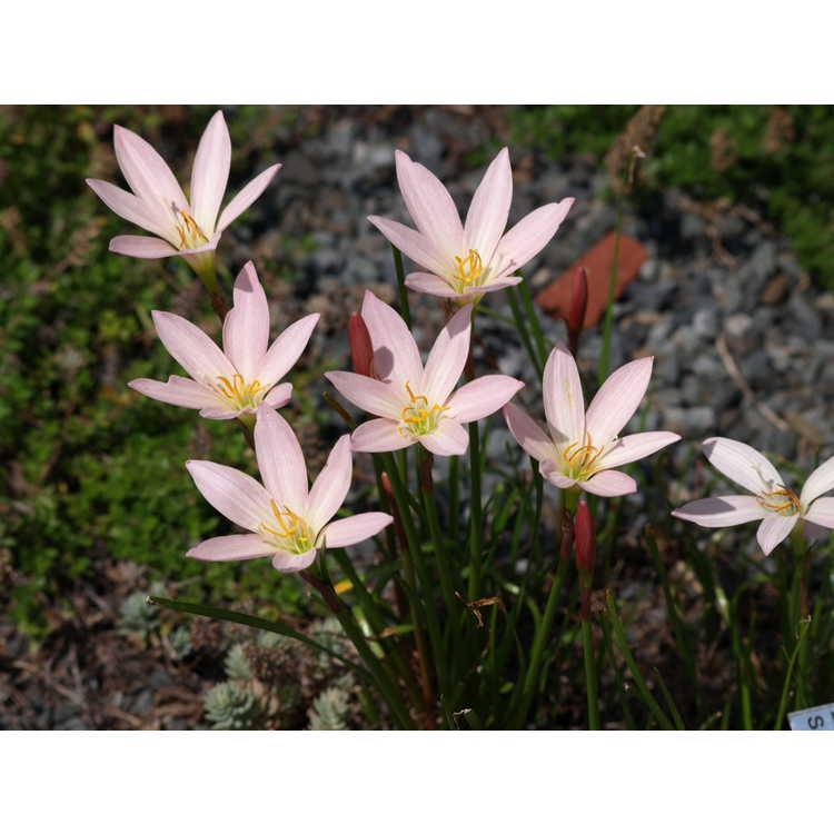 Zephyranthes 'Prairie Sunset' - pink rain-lily
