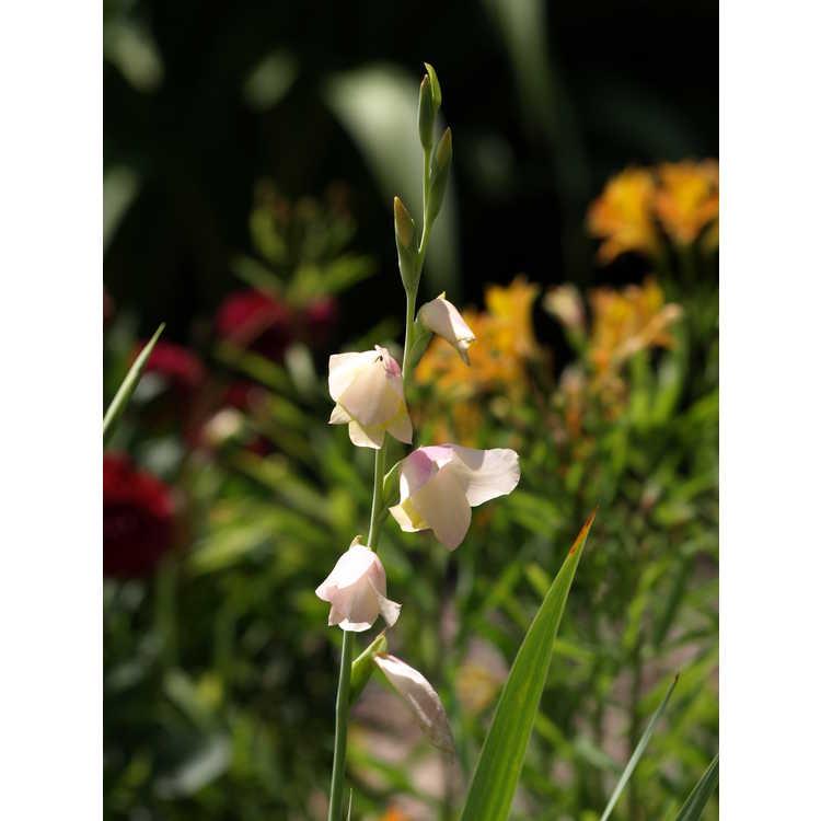 Gladiolus dalenii Bolivian Peach