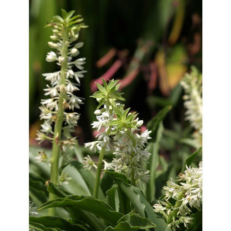Eucomis autumnalis - pineapple-lily