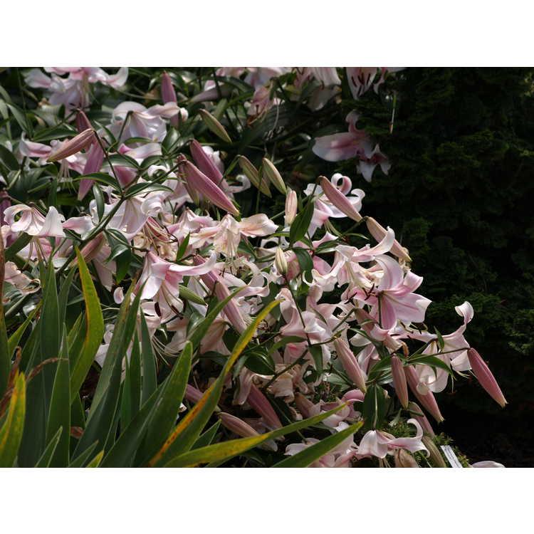 Lilium 'Anastasia' - hybrid lily