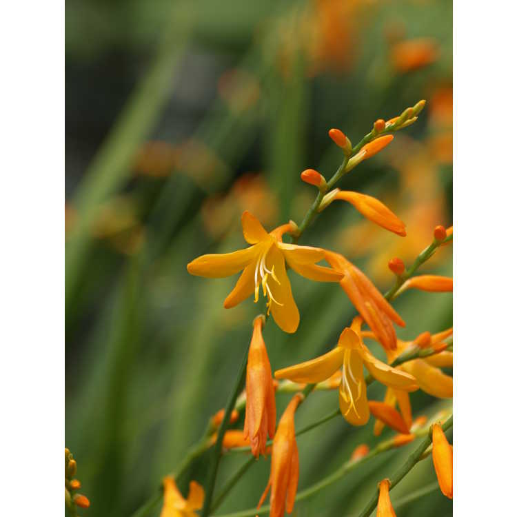 Crocosmia ×crocosmiiflora 'George Davidson' - crocosmia