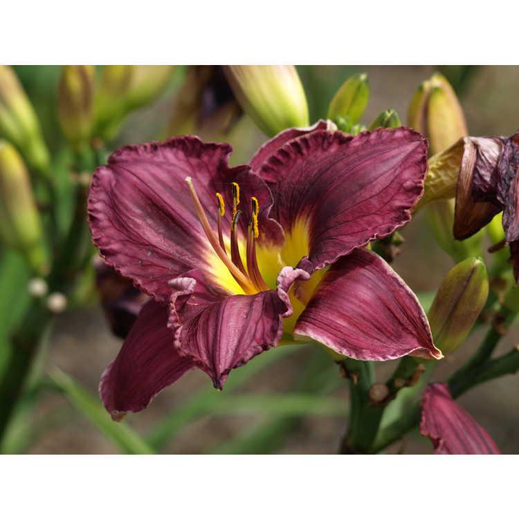 Hemerocallis 'Nosferatu' - hybrid daylily