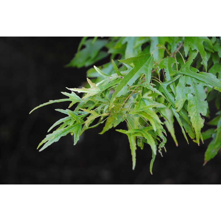 Acer buergerianum 'Mino yatsubusa' - dwarf trident maple