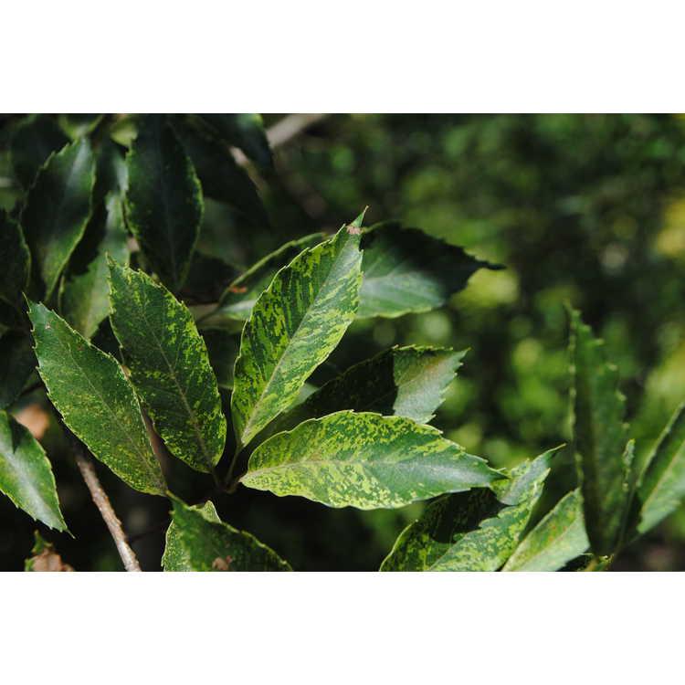 Quercus serrata 'Variegata'