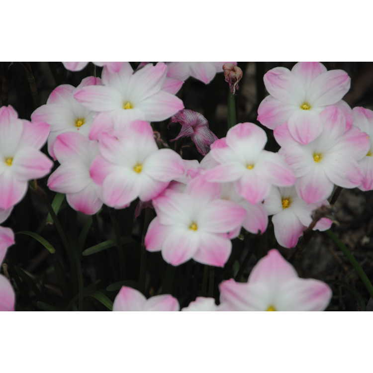 Zephyranthes 'Lily Pies' - rain-lily