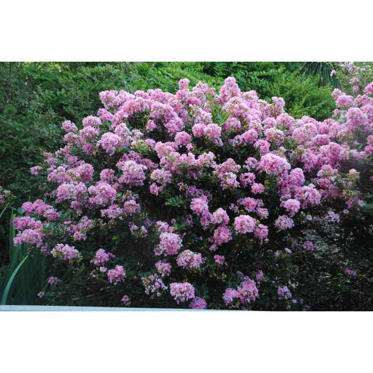 Lagerstroemia Gamad V Dazzle Me Pink