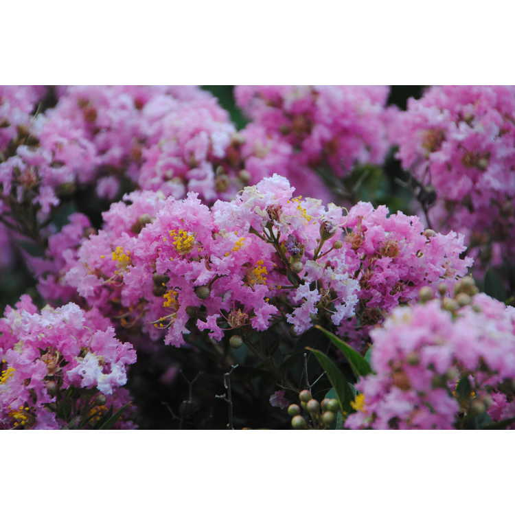 Lagerstroemia 'Gamad V'