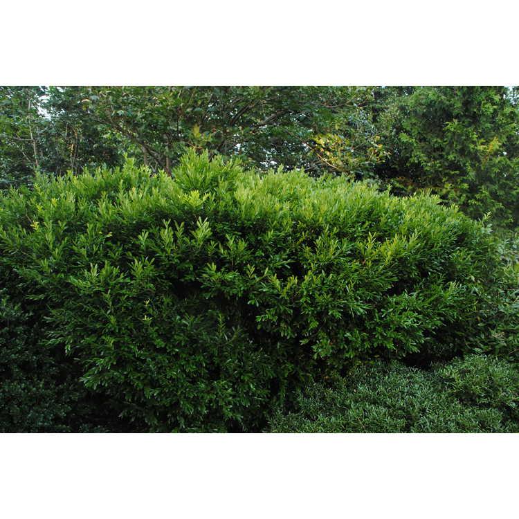 Buxus harlandii - Harland's boxwood