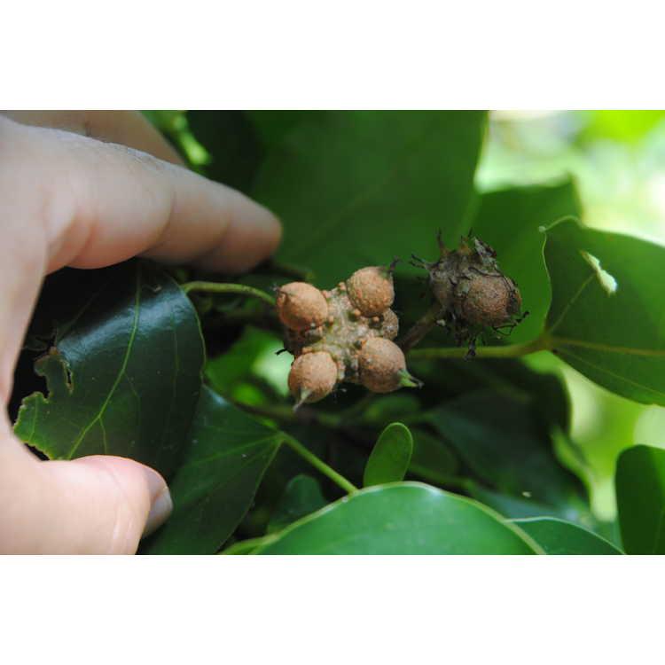 Exbucklandia populnea - Malayan aspen