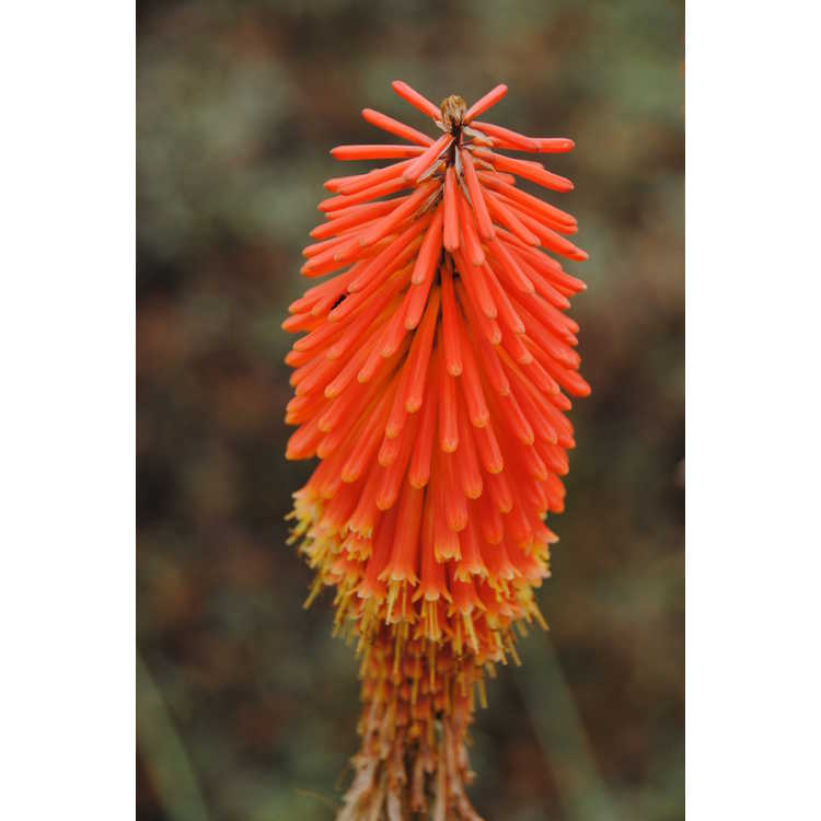 Kniphofia triangularis - red-hot poker