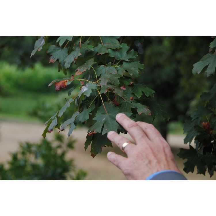 Acer grandidentatum - bigtooth maple