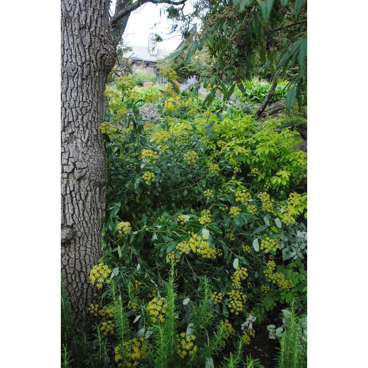 Bupleurum fruticosum - thoroughwax