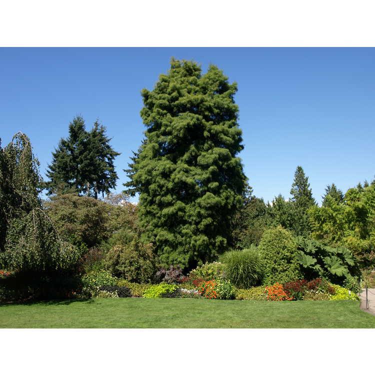 Taxodium distichum - bald cypress