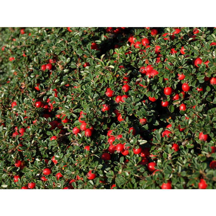 Cotoneaster - cotoneaster