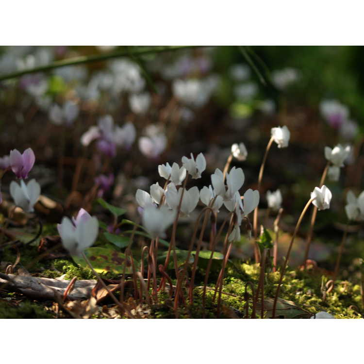 Cyclamen hederifolium Album Group