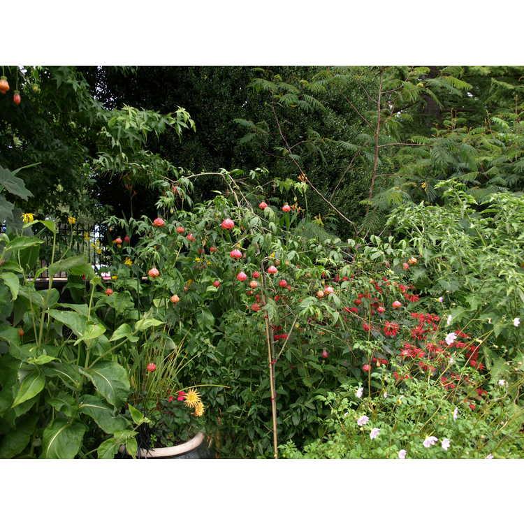 Abutilon - flowering maple