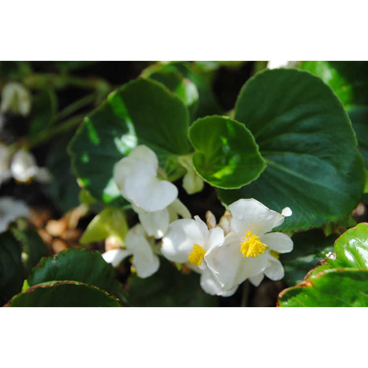 Begonia Semperflorens-cultorum Group (hardy white) - hardy wax begonia