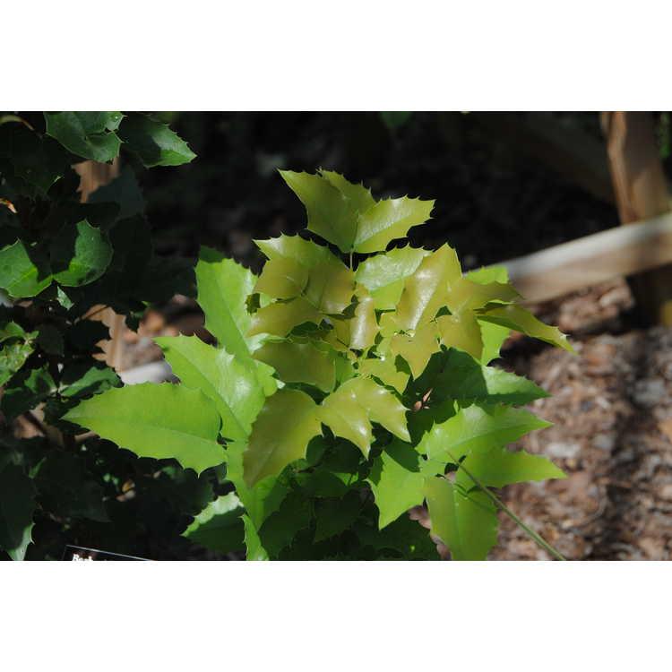 Mahonia 'J.C. Raulston' - hybrid grapeholly