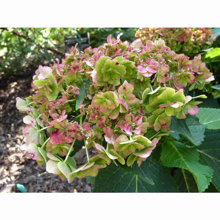 Hydrangea macrophylla 'Rei 05' - Forever & Ever Together bigleaf hydrangea