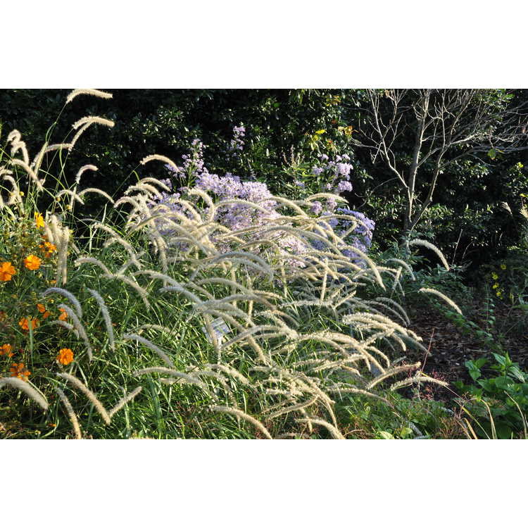Pennisetum orientale 'Tall Tails'