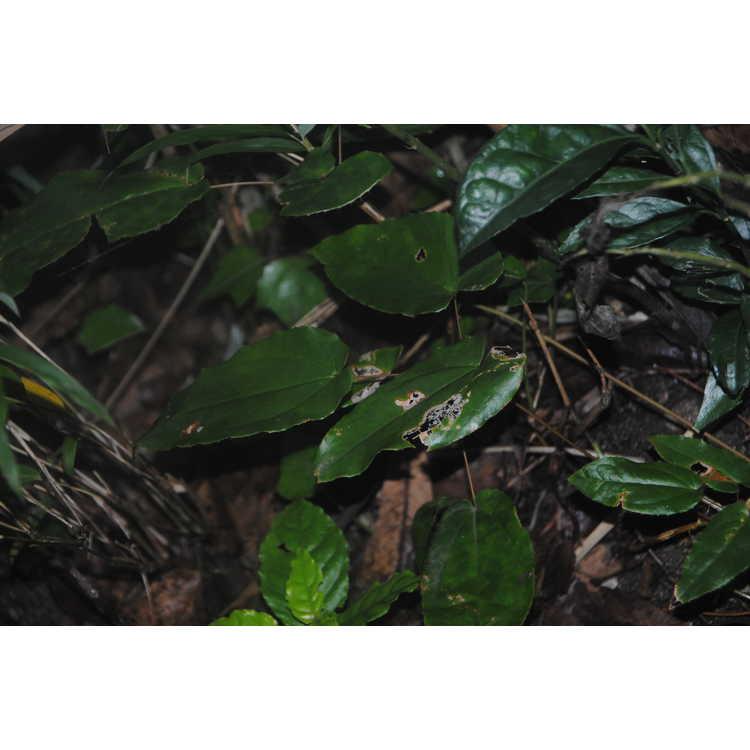 Epimedium cf. acuminatum