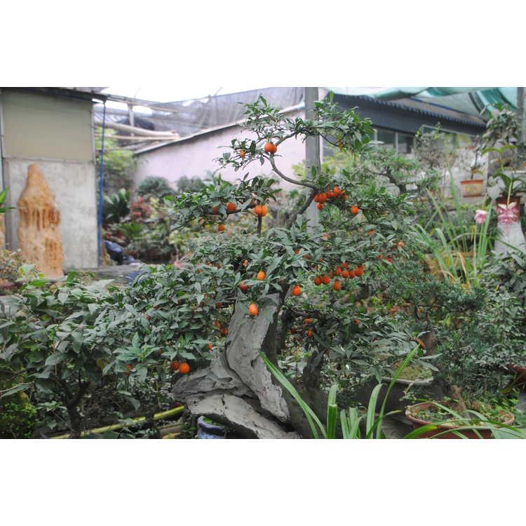 Diospyros rhombifolia