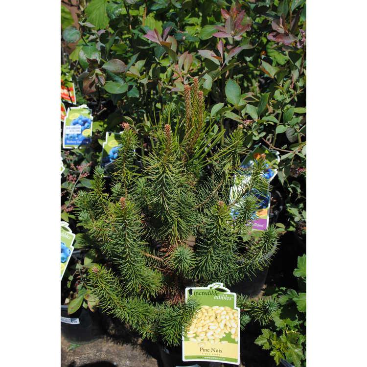 Pinus pinea - Italian stone pine