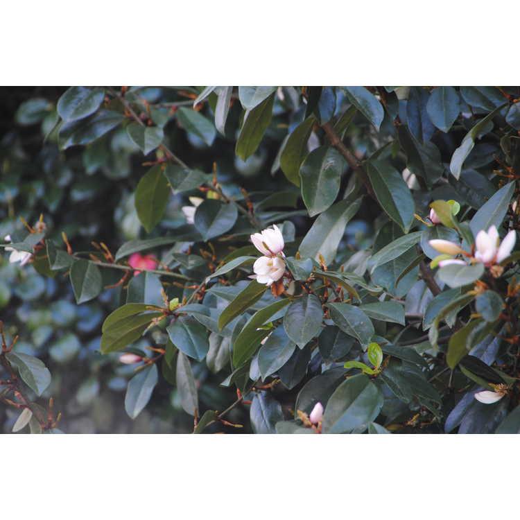 Magnolia 'Micjur01' - Fairy Magnolia Blush hybrid magnolia