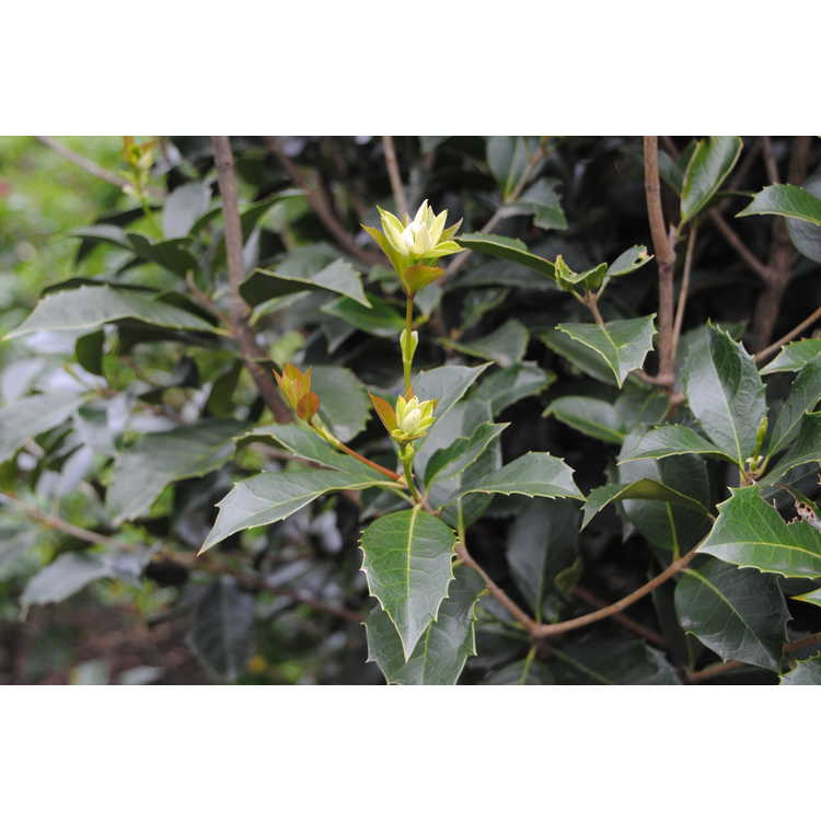 Osmanthus fragrans 'Tianxian Taige' - sweet-olive