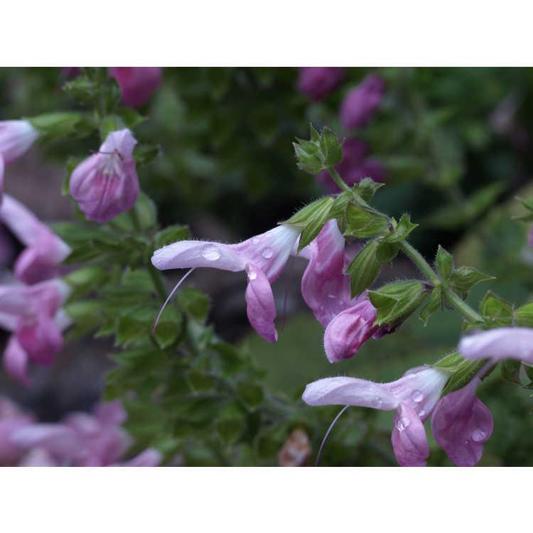 Salvia glabrescens 'Momobana' - pink Japanese woodland sage
