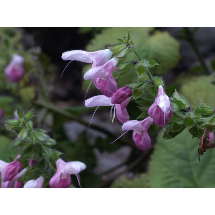Salvia glabrescens Momobana