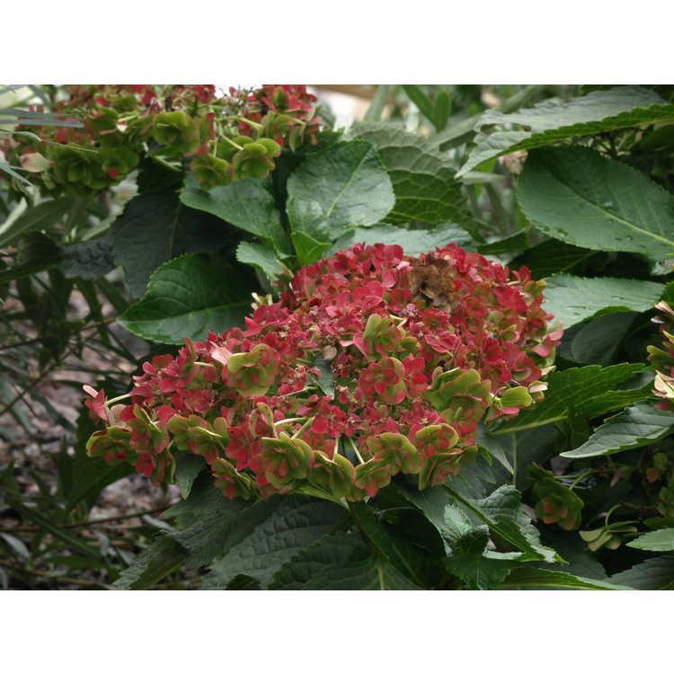 Hydrangea macrophylla 'Dancing Snow'