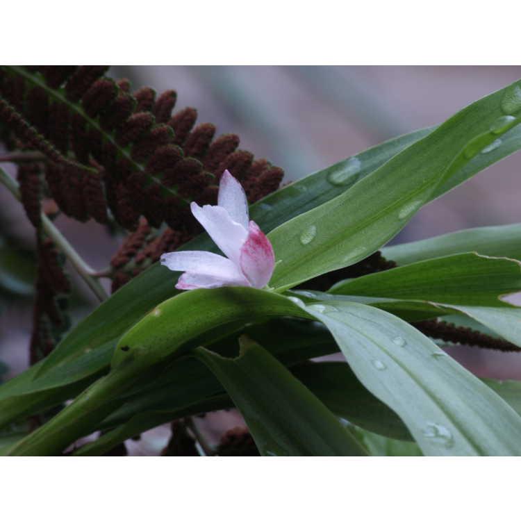 Roscoea scillifolia (pink form)