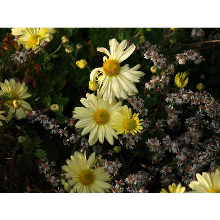 Chrysanthemum 'Virginia's Sunshine' - garden chrysanthemum
