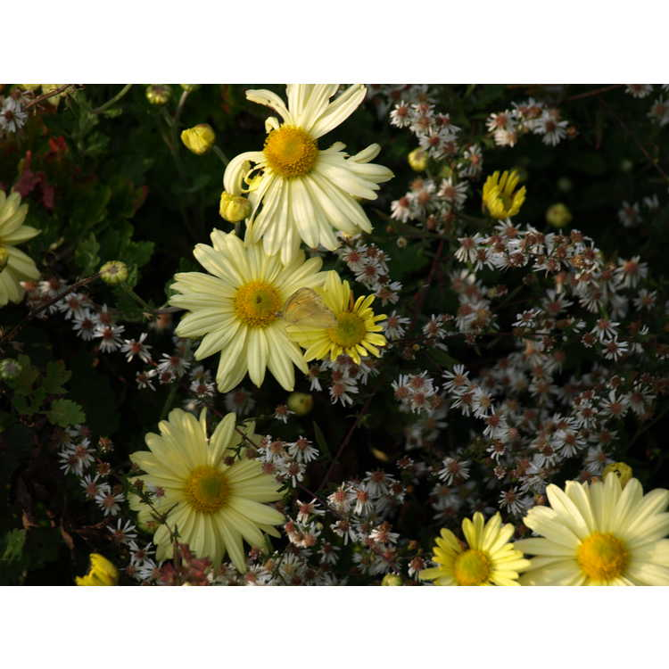 Chrysanthemum 'Virginia's Sunshine'