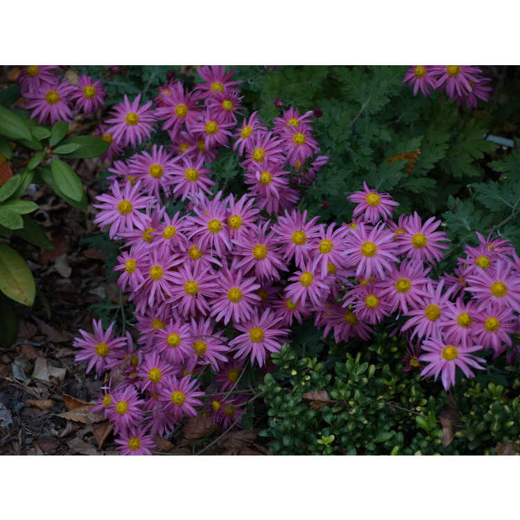 Chrysanthemum Miss Glorias Thanksgiving Day