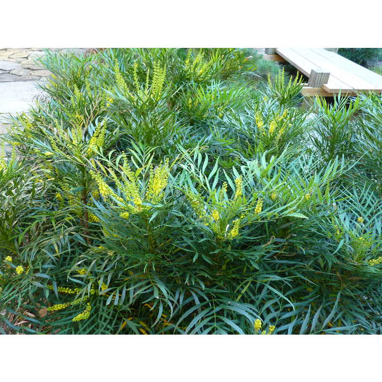 Mahonia eurybracteata ganpinensis Soft Caress