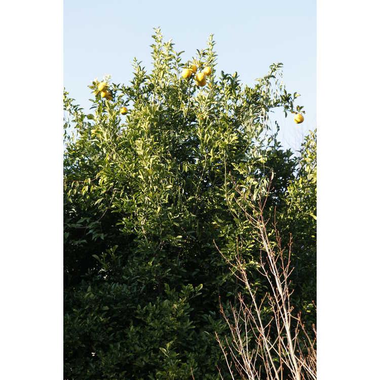 Poncirus trifoliata × Citrus paradisi 'Dunstan'