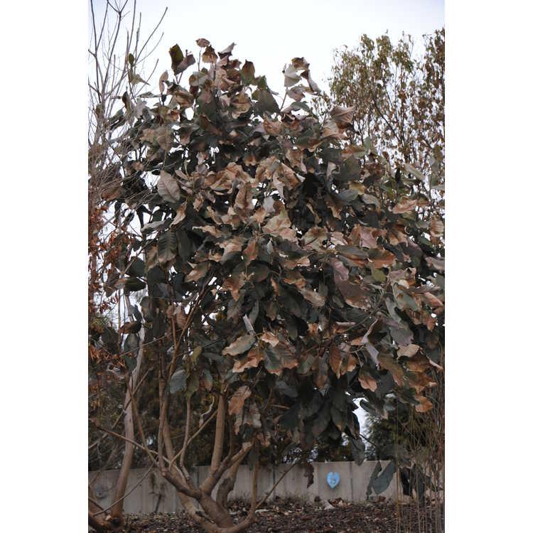 Magnolia delavayi (pink flower form) - Father Delavay's magnolia