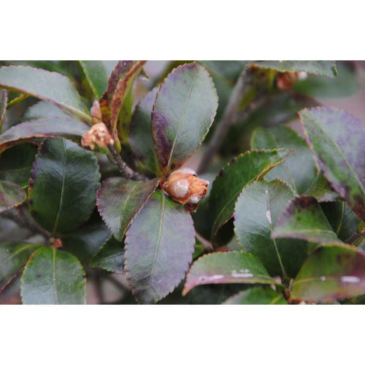 Camellia sasanqua 'Green 94-035'