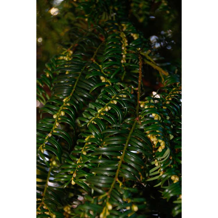 Taxus wallichiana var. chinensis